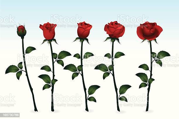 Roses vector id165730786?b=1&k=6&m=165730786&s=612x612&h=msmjuwr9fwriqlidutwqr36cyv77jmskdqq6hw6dh88=