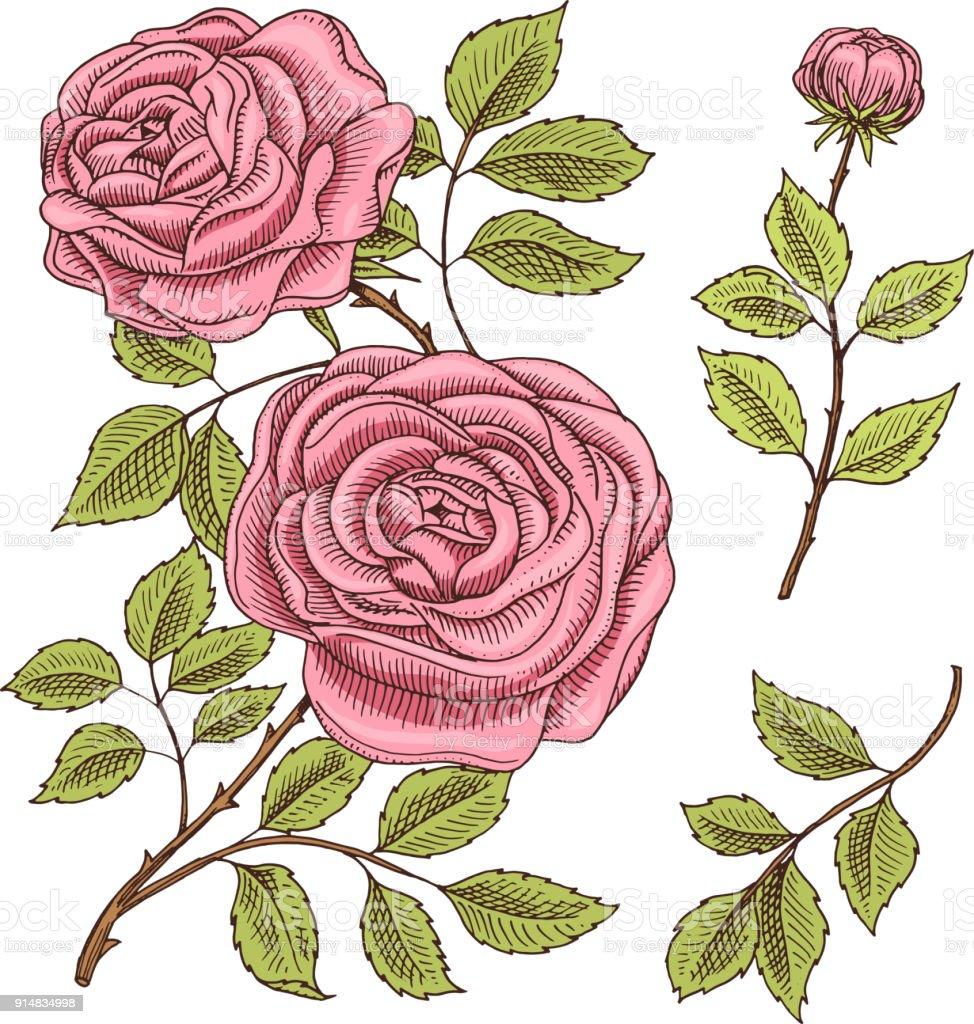 Rosas Con Hojas Y Brotes Boda Flores Botánicas De La Planta De ...