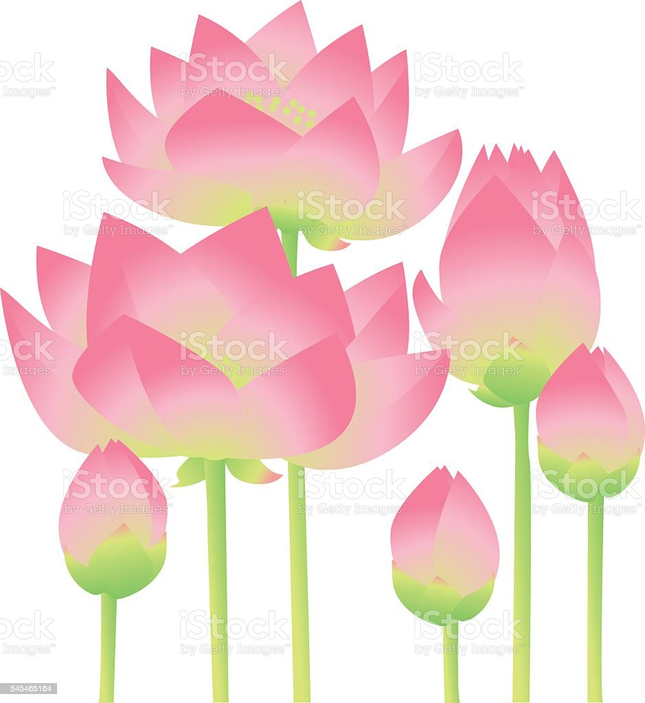 rosy lotus lilies decorative floral element on white background. vector art illustration