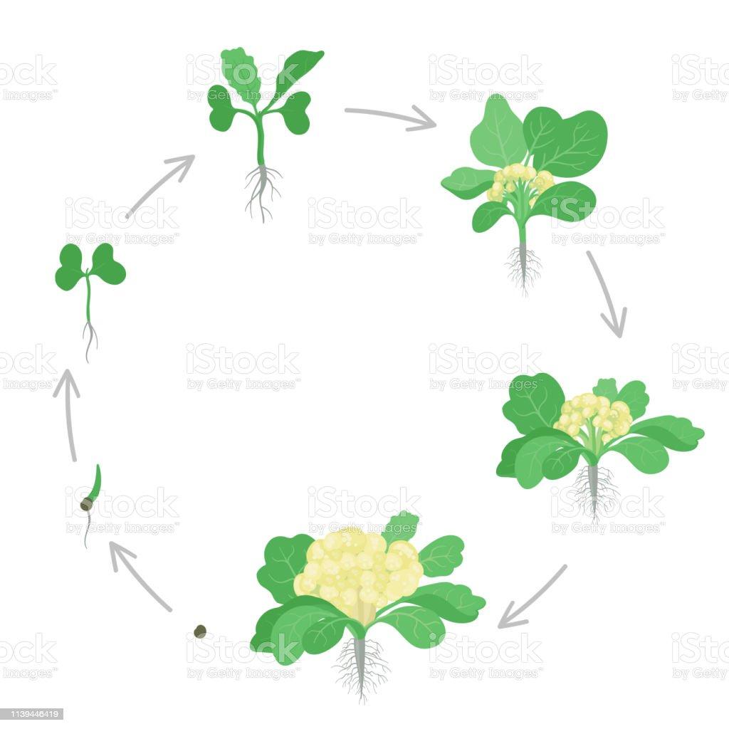 Round Crop Stages Of Cauliflower Cabbage Circular Growing ...