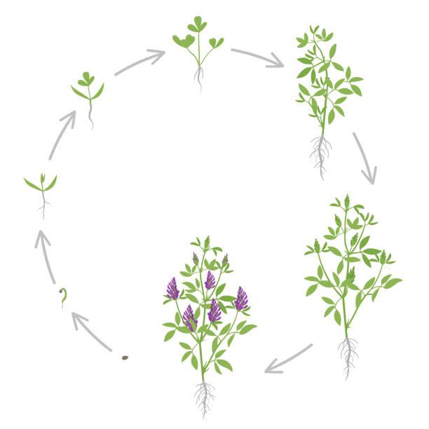 illustrazioni stock, clip art, cartoni animati e icone di tendenza di round growth stages of alfalfa plant. vector flat illustration. medicago sativa. lucerne grown. circular life cycle. - erba medica