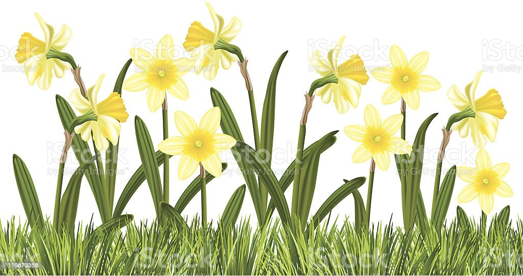 Row of Daffodils In The Grass royalty-free row of daffodils in the grass stock vector art & more images of color image