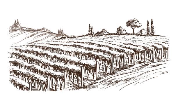 bildbanksillustrationer, clip art samt tecknat material och ikoner med rader av vingården druva växter - vineyard