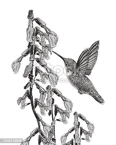 Stipple illustration of a Ruby Throated Hummingbird feeding on Purple Salvia