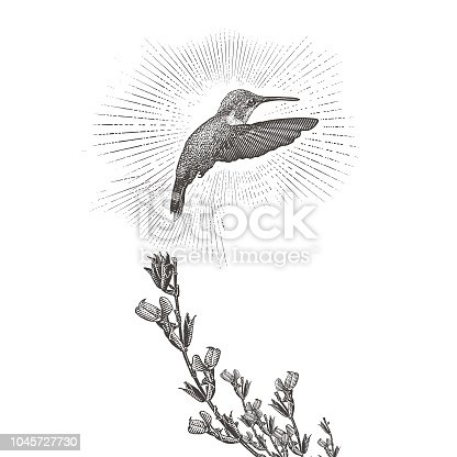 Engraving illustration of a Ruby Throated Hummingbird and Purple Salvia