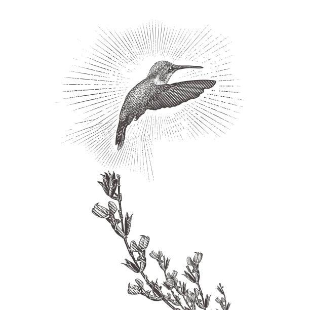 Ruby Throated Hummingbird and Purple Salvia vector art illustration