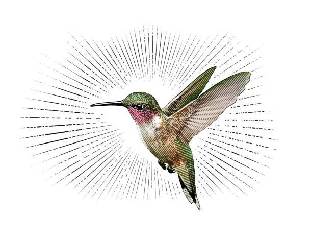 Ruby Throated Hummingbird flying vector art illustration