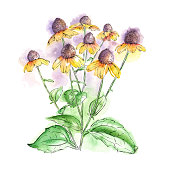 Rudbeckia, Black Eyed Susan, or Coneflowers watercolor and ink drawing. Vector EPS10 Illustration.