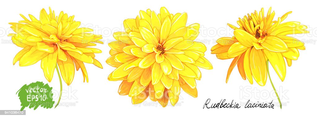 Rudbeckia laciniata yellow flower stock vector art more images of rudbeckia laciniata yellow flower royalty free rudbeckia laciniata yellow flower stock vector art amp mightylinksfo