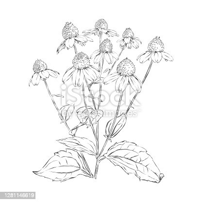 Rudbeckia, Black Eyed Susan, or Coneflowers pen and ink drawing. Vector EPS10 Illustration.