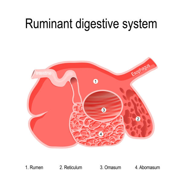 ruminant digestive system. four compartments of Ruminants' stomach ruminant digestive system. feature of ruminants is the large ruminal storage capacity that gives them the ability to consume feed rapidly and complete the chewing process later. Ruminants' stomachs have four compartments: rumen — primary site of microbial fermentation; reticulum; omasum — receives chewed cud, and absorbs volatile fatty acids abomasum — true stomach. hoofed mammal stock illustrations