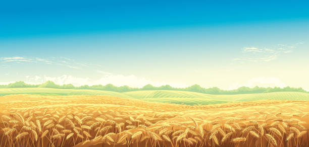 stockillustraties, clipart, cartoons en iconen met landschap met tarwe velden - wheat field
