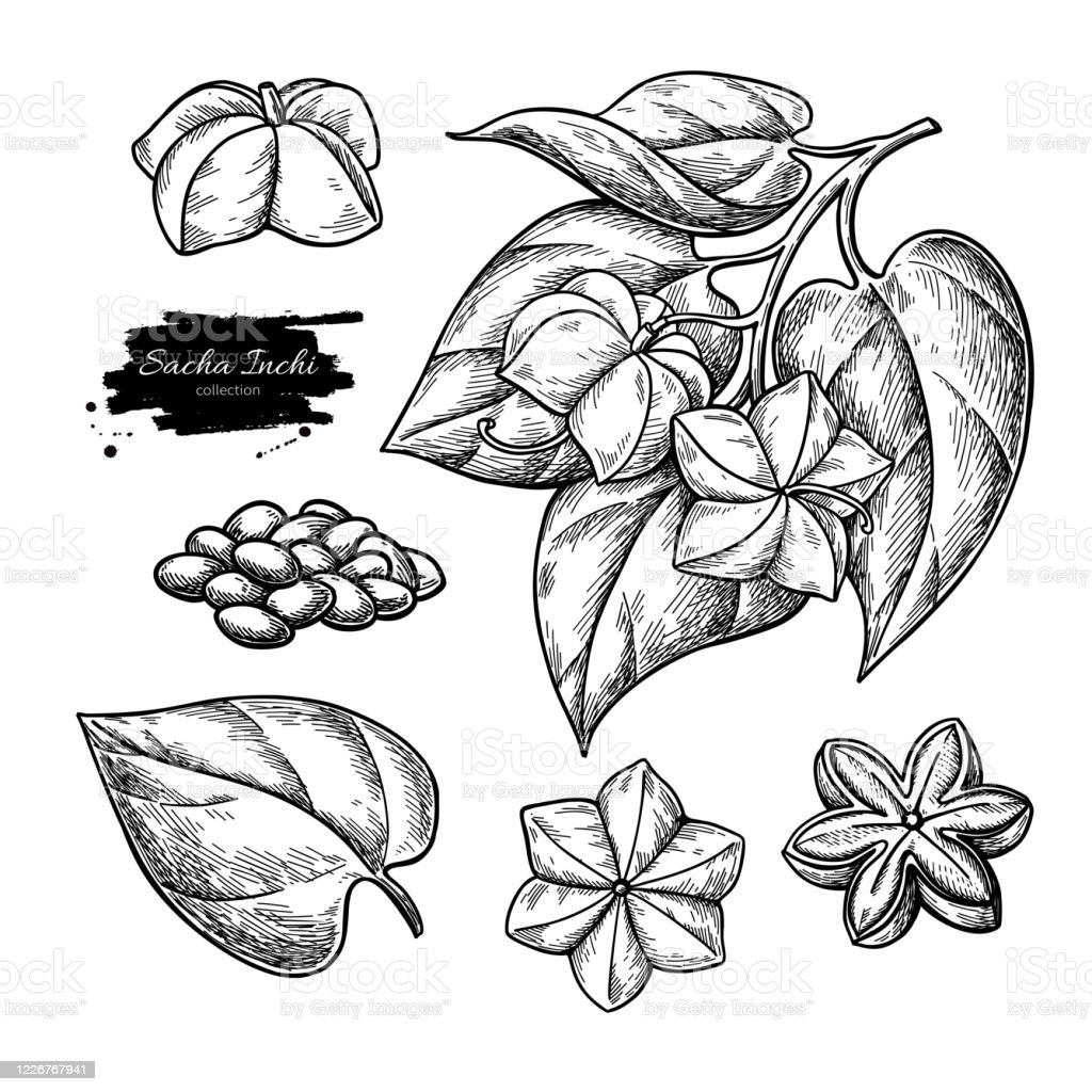 Sacha Inchi Vector Drawing Hand Drawn Branch With Peanuts And Leaves Pile Of Seeds Stock Illustration Download Image Now Istock