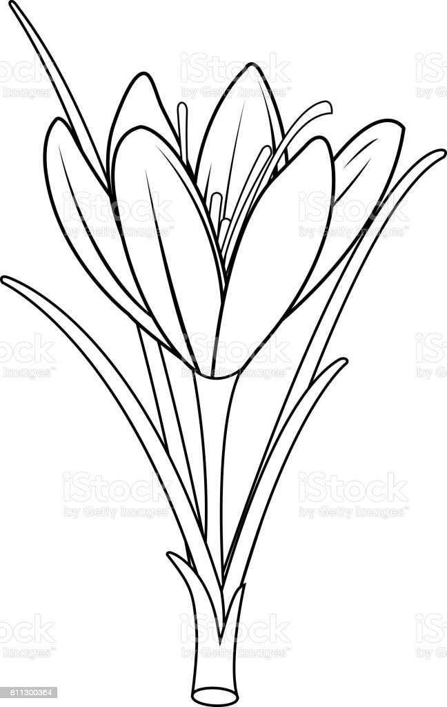 Saffron crocus flower. Black and white coloring book page