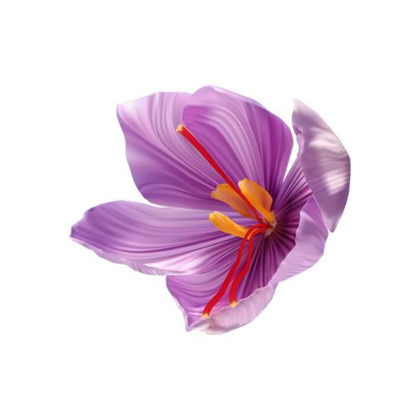 사프란 꽃 버드 는 클로즈업 오픈. 시즈닝 고가의 사프란 - 암술 stock illustrations