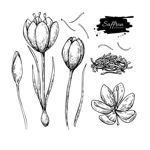 illustrations, cliparts, dessins animés et icônes de fleur de safran vecteur de dessin. la main dessinée épice herbes et aliments. - crocus