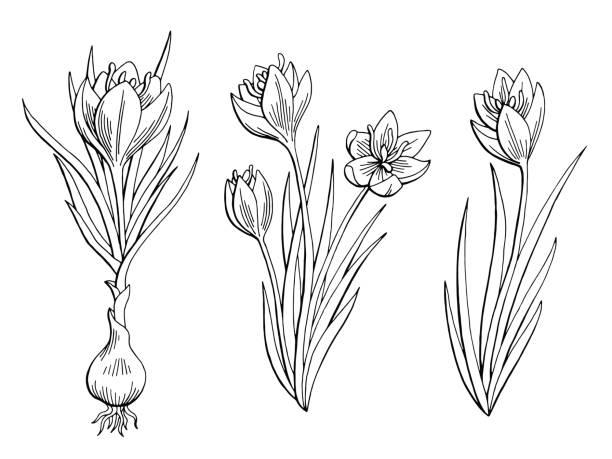 illustrations, cliparts, dessins animés et icônes de vecteur de safran fleur graphique noir blanc esquisse isolé illustration - crocus