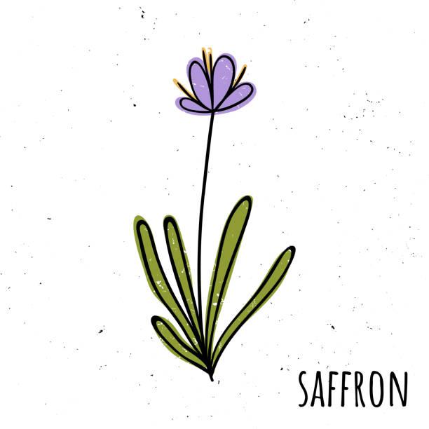 illustrations, cliparts, dessins animés et icônes de safran, épice. illustration vectorielle avec une plante. style de dessinés à la main - crocus
