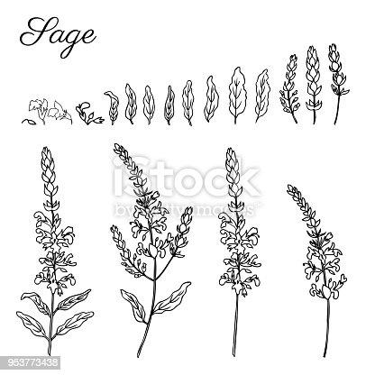 🔥 Imagen de Flor de salvia vector aislado sobre fondo blanco, tinta ...