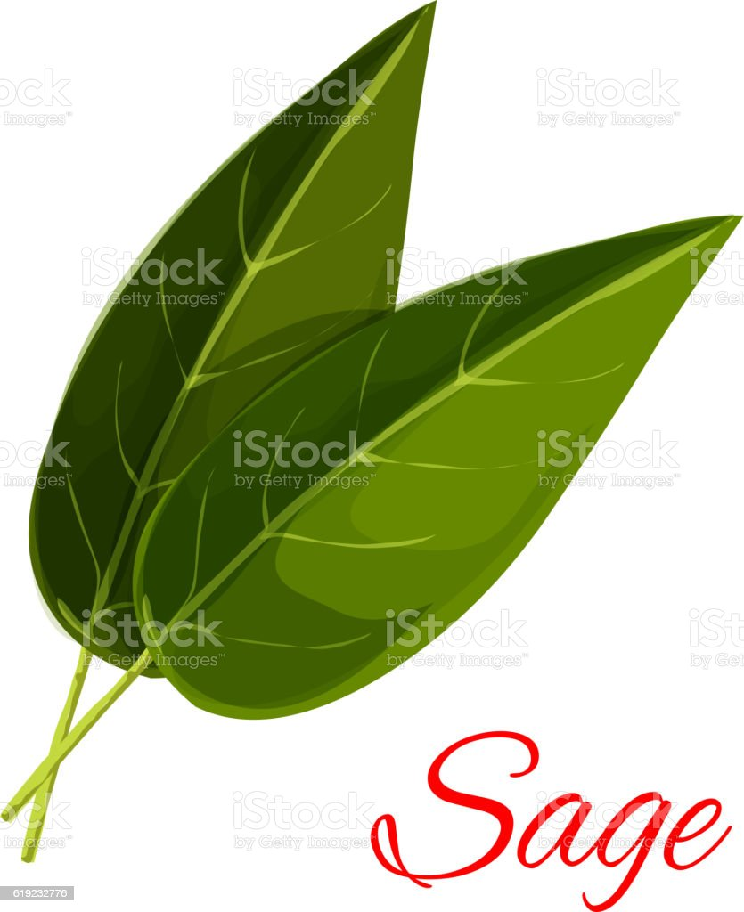 Sage herb leaves isolated icon vector art illustration