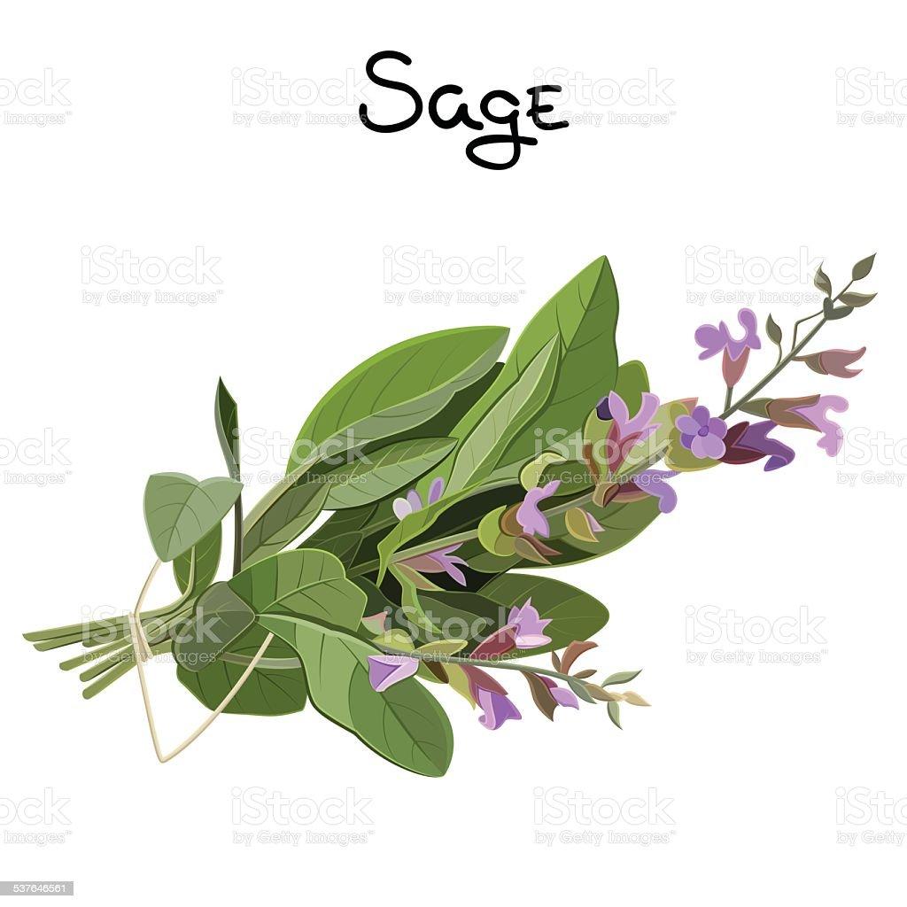 Sage herb vector art illustration