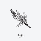 sege. natural herbs. sketch on grey background