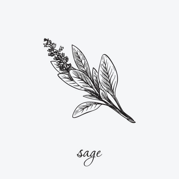 sage. natural herbs. sketch on grey - sage stock illustrations, clip art, cartoons, & icons