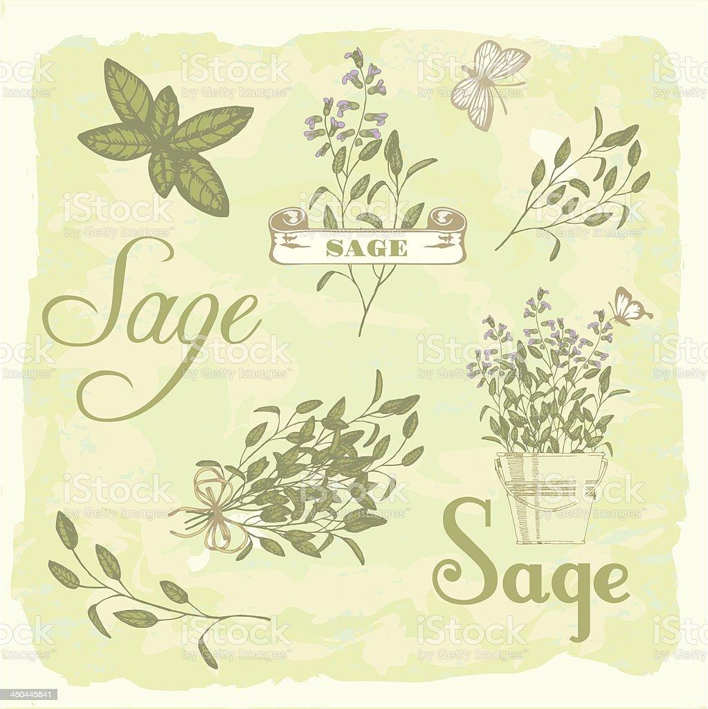 Sage, salvia,  herb, plant background, vector art illustration