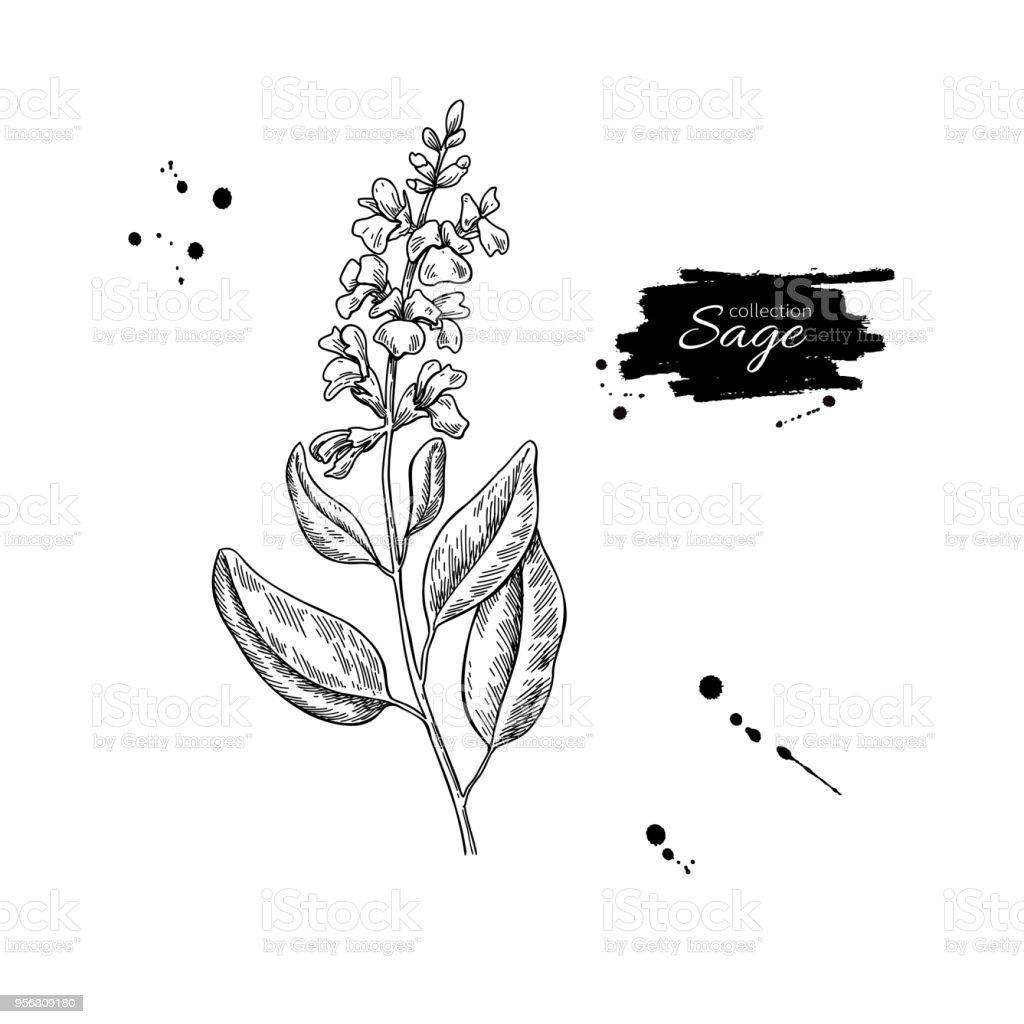 Dessin De Sauge Vectoriel Plante Isolée Avec Fleurs Et