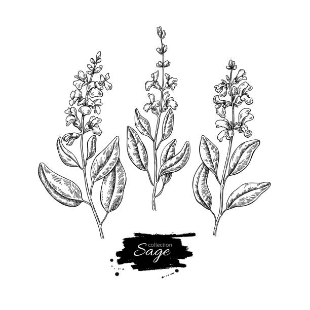 sage vector drawing set. isolated plant with flower and leaves. - sage stock illustrations, clip art, cartoons, & icons