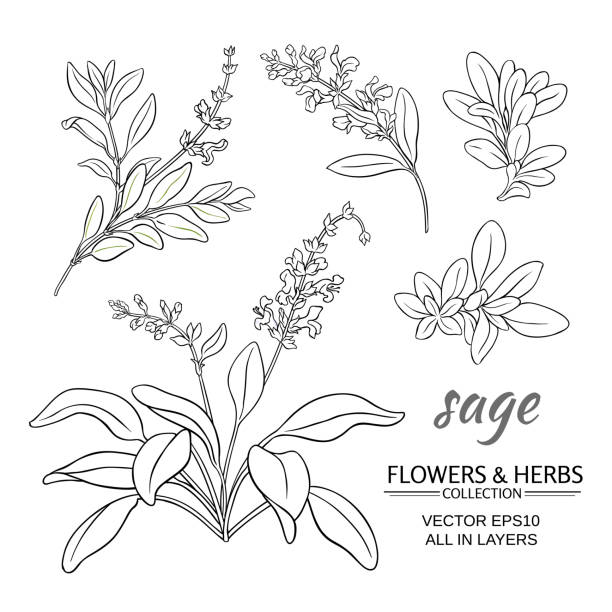sage vector set - sage stock illustrations, clip art, cartoons, & icons