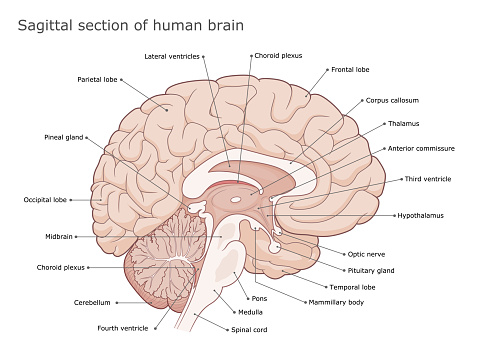 Sagittal section of the brain