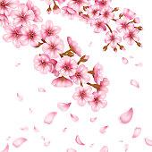 Sakura blossom vector illustration.