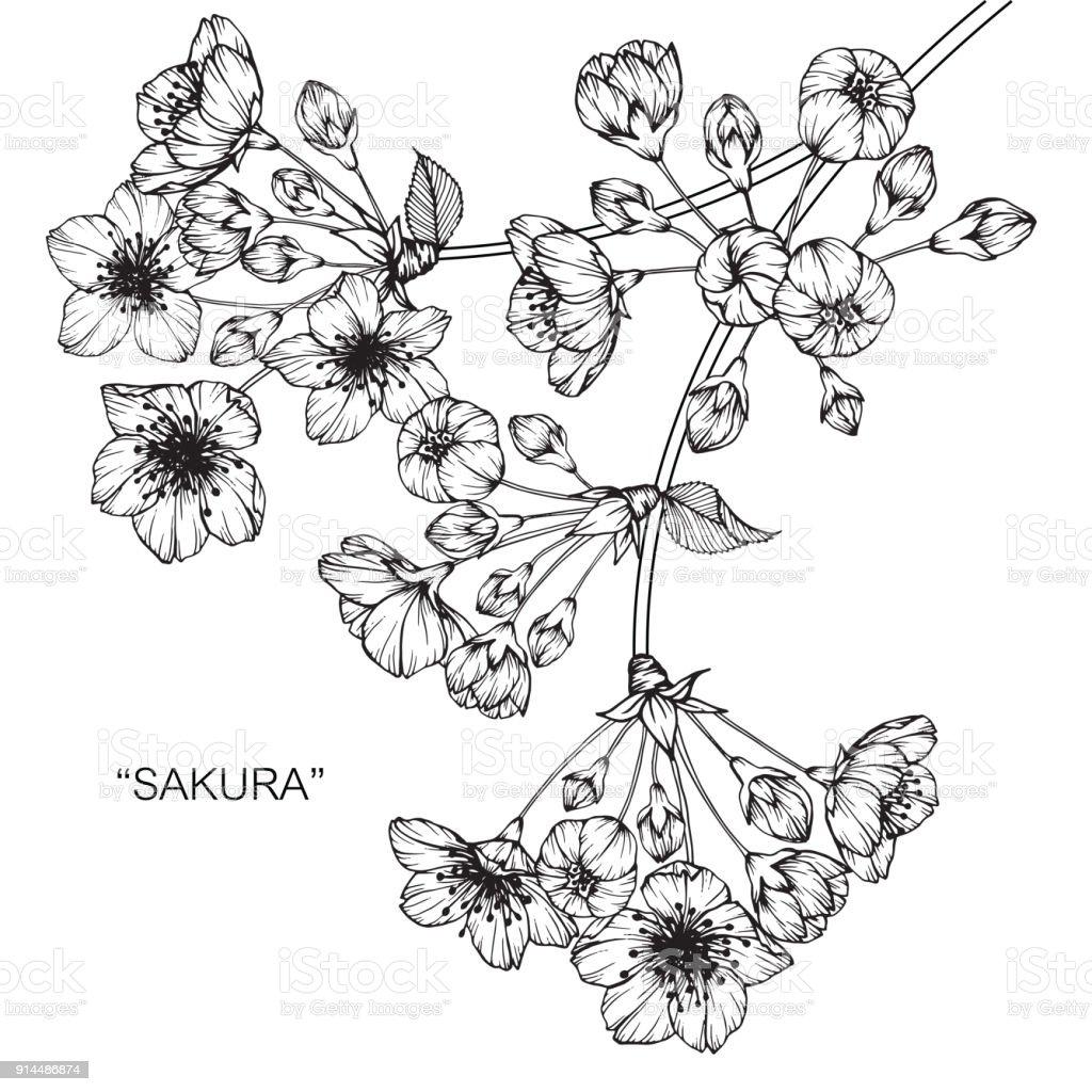 sakura cherry blossom flower drawing stock illustration