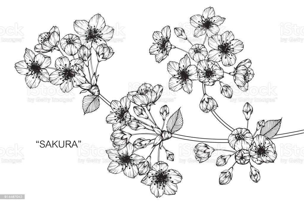 Sakura Dessin De Fleur De Cerisier En Fleurs Vecteurs Libres De Droits Et Plus D Images Vectorielles De Arbre En Fleurs Istock