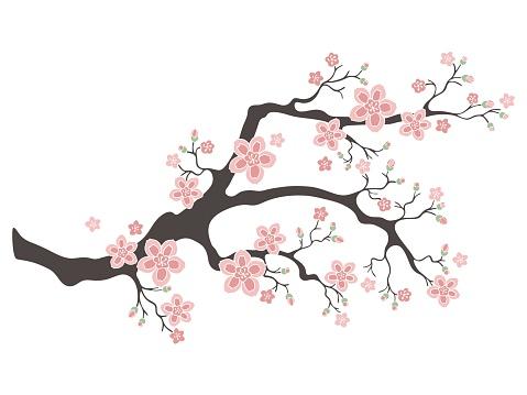 Sakura cherry blossoms. Cherry flower blossom branch, peach bloom, sakura branch. Blooming Asian nature.