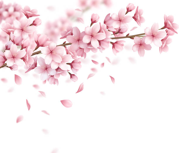 sakura cherry spring blossoms composition realistic Branch with beautiful sakura flowers and falling petals realistic composition on white background vector illustration flower part stock illustrations