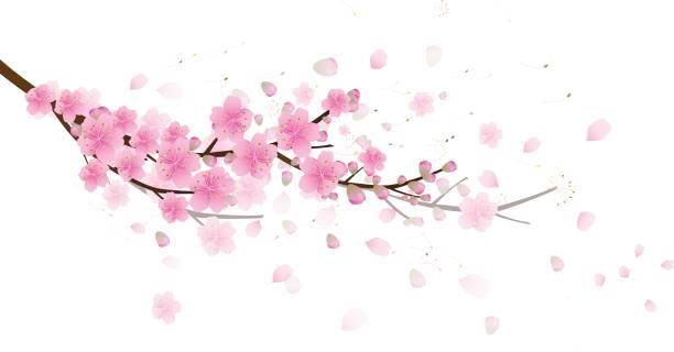 Sakura flowers background. cherry blossom isolated white background vector art illustration