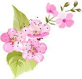 Sakura flowers. Spring background