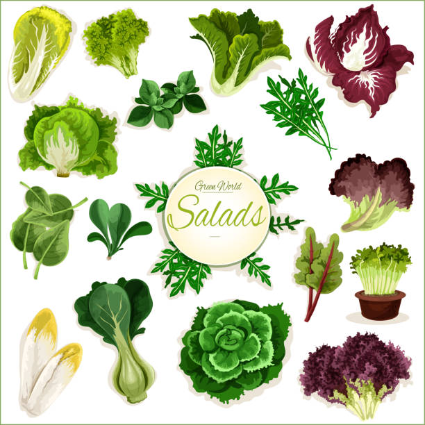 salad greens, leafy vegetables vector poster - lettuce stock illustrations