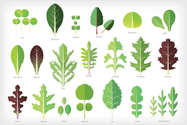 salad greens Set of salad greens vector. Leafy vegetables arugula stock illustrations