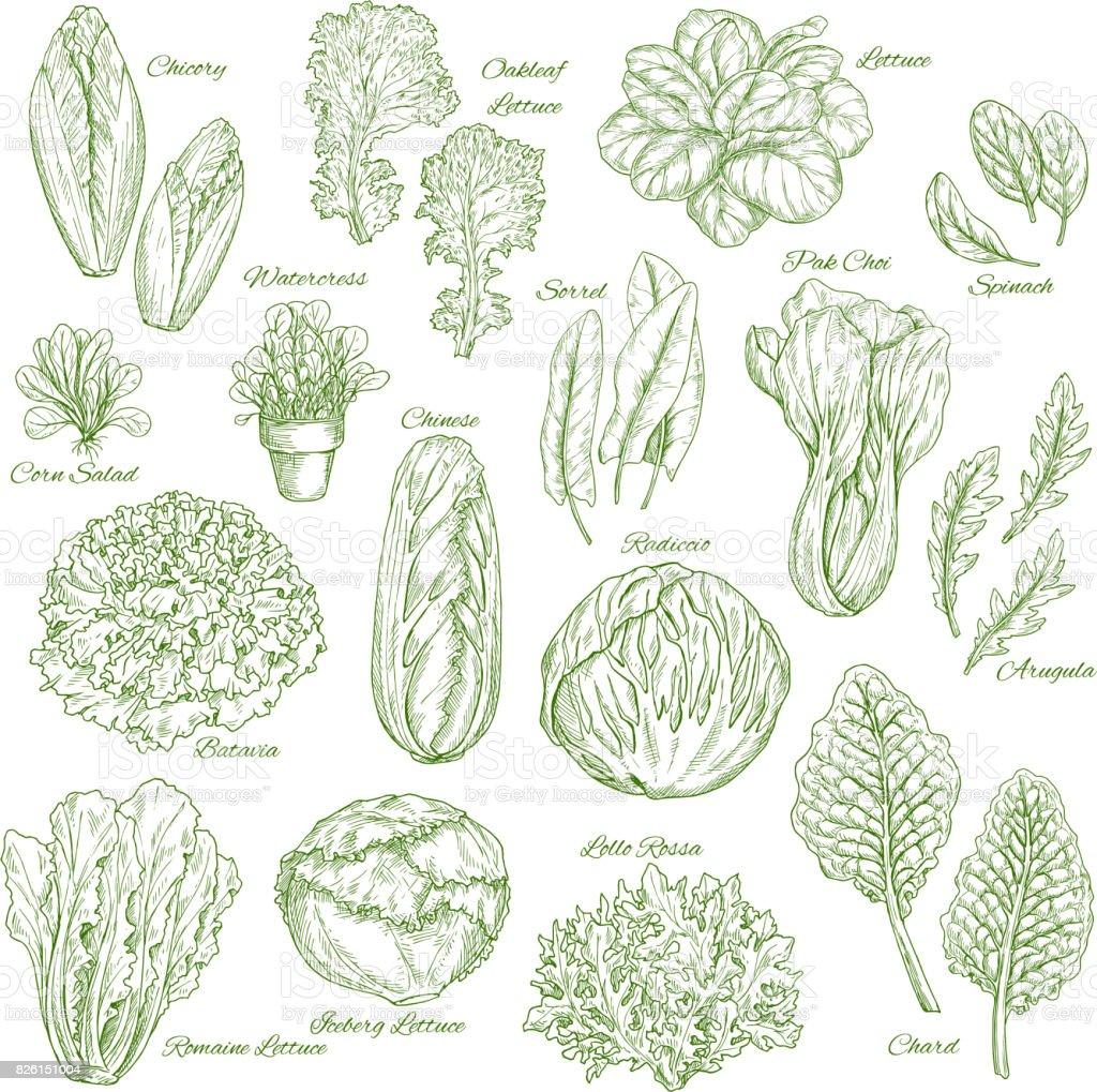 Salad leaf and vegetable greens sketch set design vector art illustration