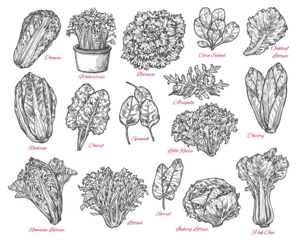 salad leaves and vegetable vector sketches - lettuce stock illustrations