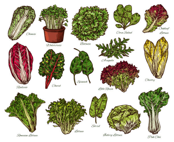 salads and farm lettuce vegetables vector sketch - lettuce stock illustrations