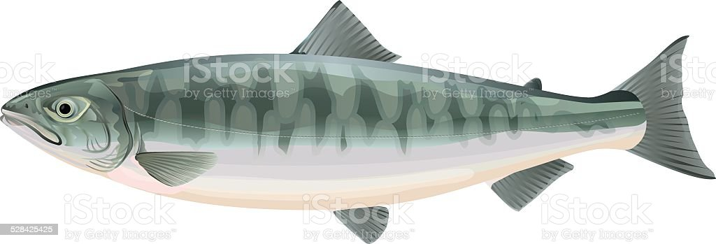 Salmon. Fish vector art illustration