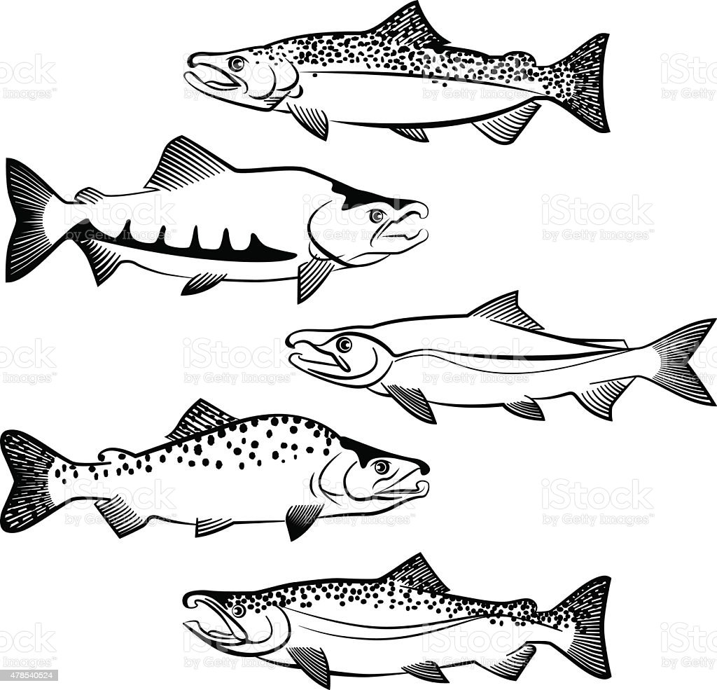 royalty free sockeye salmon clip art vector images illustrations Salmon Diagram without Lables salmon species vector art illustration
