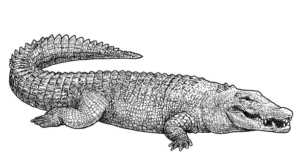 Saltwater crocodile illustration, drawing, engraving, ink, line art, vector Illustration, what made by ink, then it was digitalized. crocodile stock illustrations