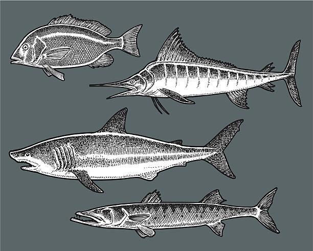 Saltwater Fish - Shark, Marlin, Barracuda, Snapper vector art illustration