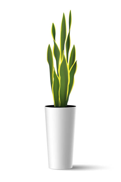 Sansevieria trifasciata (mother-in-law's tongue) vector illustration Vector illustration of house plant Sansevieria trifasciata (mother-in-law's tongue) in high pot potted plant stock illustrations