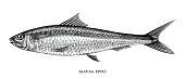 Sardine fish hand drawing vintage engraving illustration